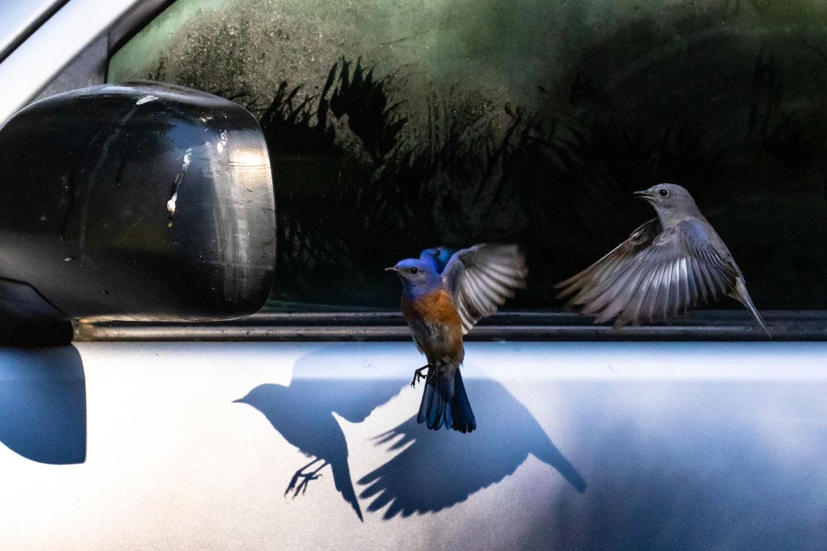 Western_Bluebirds_3V2A3658