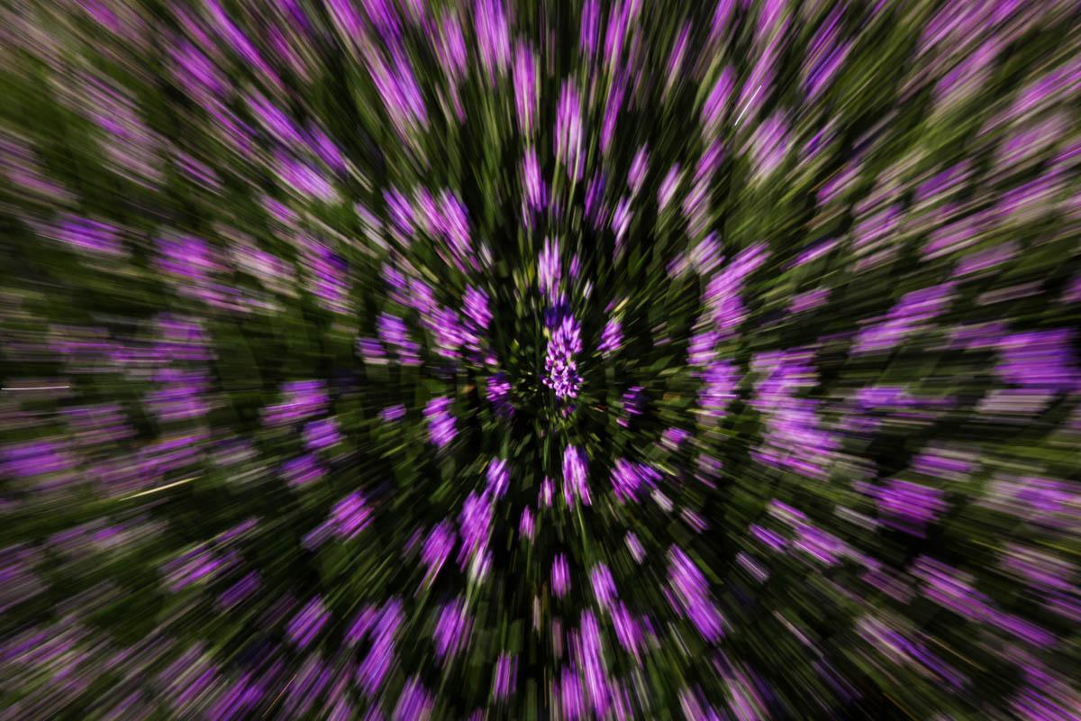 Lavender_BH6A1055