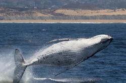 Breaching_white_whale_135A4414