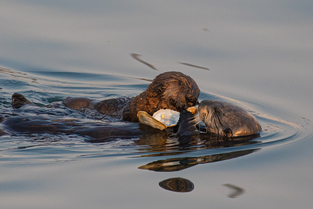 Otter_mom_pup_clam_3V2A1259