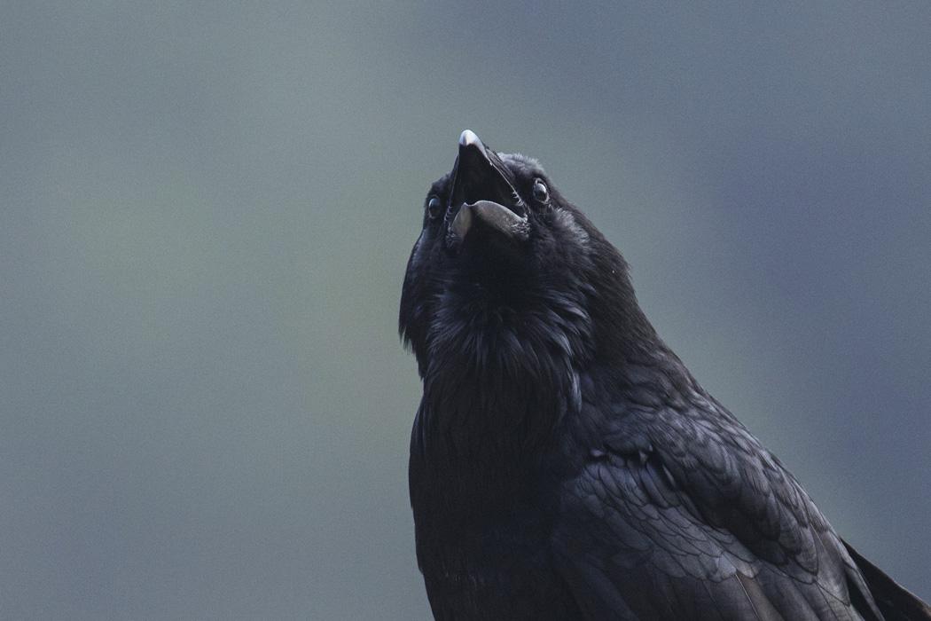 Raven_3V2A5484