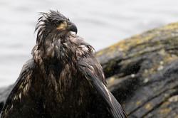 Eagle_rain_3V2A6309crop
