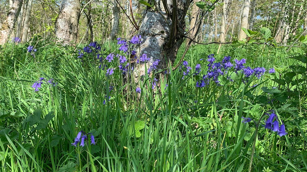 Bluebells in a peaceful wood.