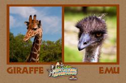 13: Giraffe & Emu, Compare and Contrast