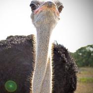 anim-ostrich.jpg