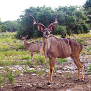 anim-kudu.jpg