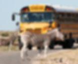 Bus-Zebra.jpg