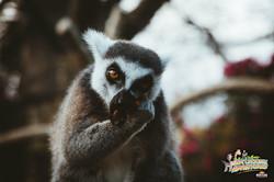 11: Hungry Lemur