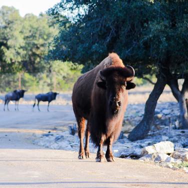 anim-bison.jpg