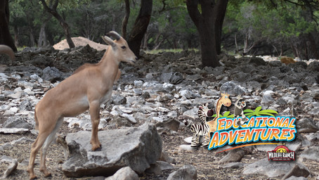 Teacher's Guide to Climbing Aoudad Prompt