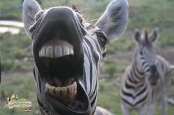 1: Silly Zebra
