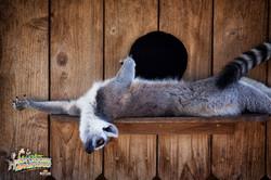 7: Lazy Lemur