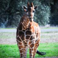 anim-giraffe.jpg