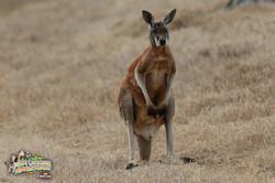 5: Kangaroo For A Day