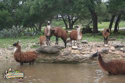 8: Lollygagging Llamas