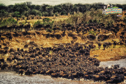 17: Wildebeests On The Move