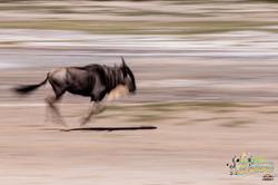 16: Wildebeest Speed