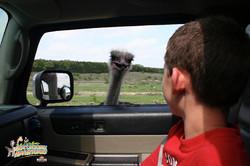 4: Watching Ostrich