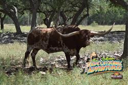 20: Texas Longhorn