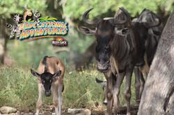 27: Wildebeest Perspectives