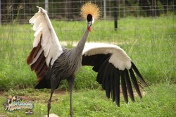 2: African Crowned Crane