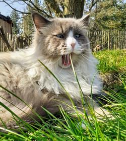 Katze Kater Sibirische Waldkatze