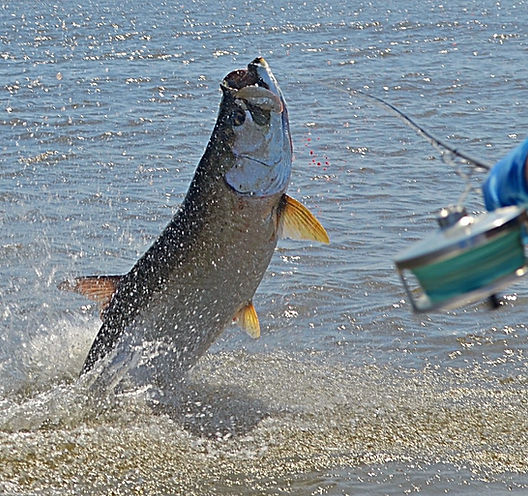 georgetown sc fishing, georgetown sc tarpon, pawleys island tarpon, SC tarpon on a fly, Pawleys island fishing, flyfishing sc