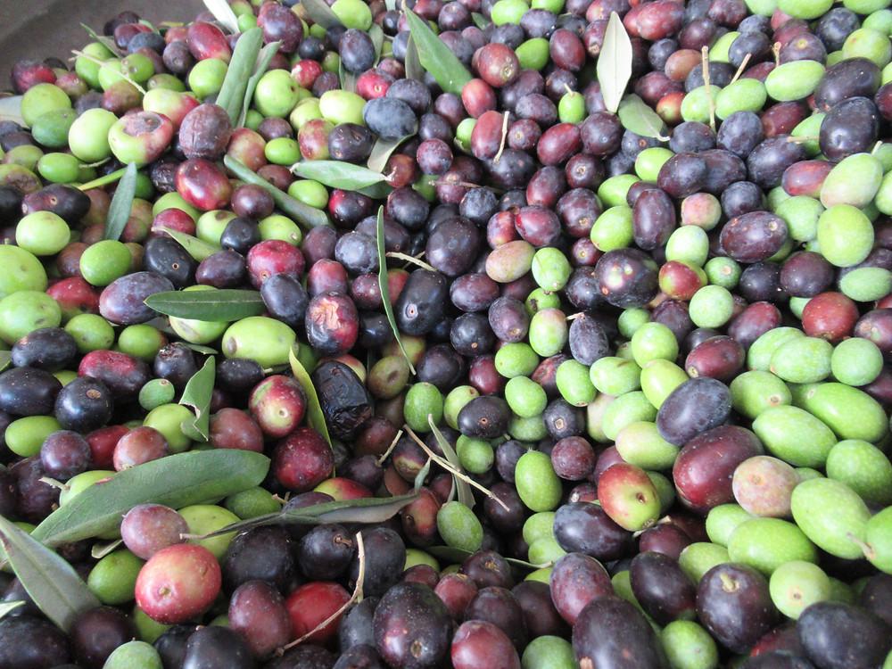 Multicultivar olives in Castelvetro Modena