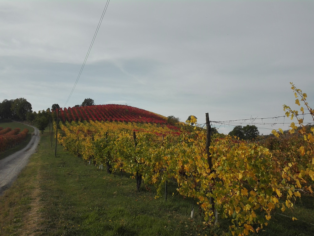 walking tour through the vineyards on hills of Modena