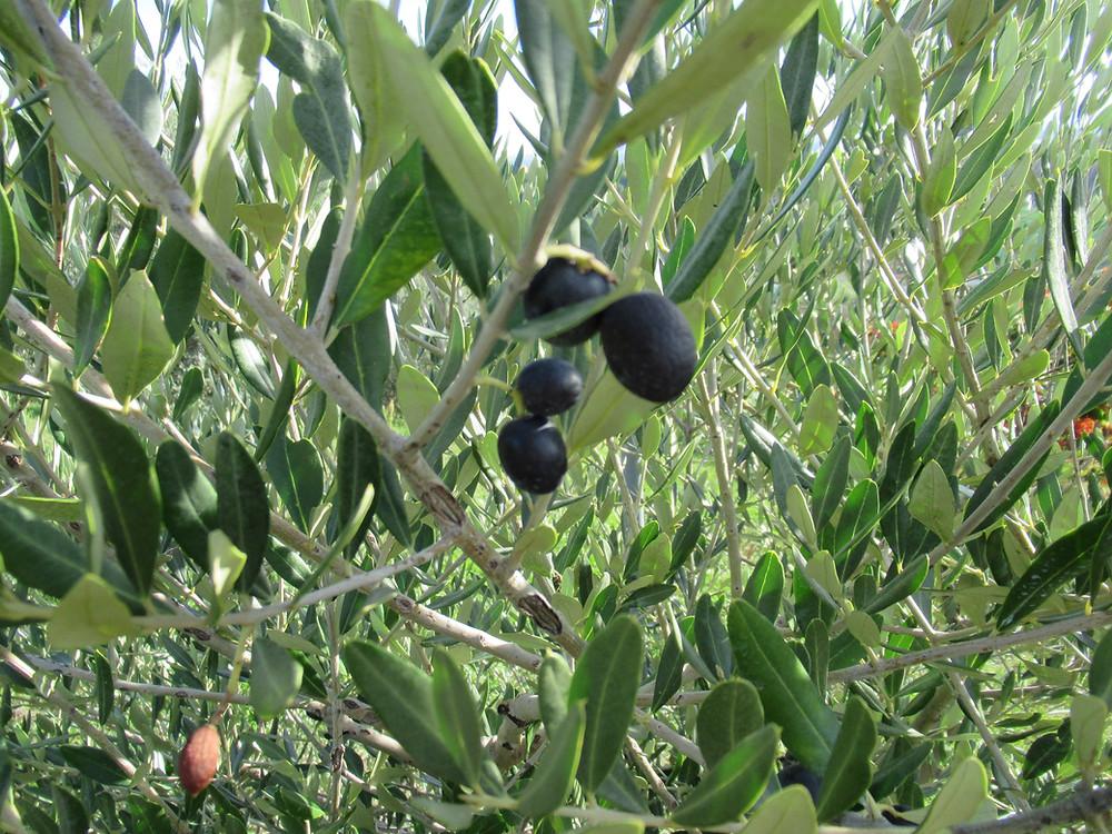 Olive tree in Castelvetro of Modena