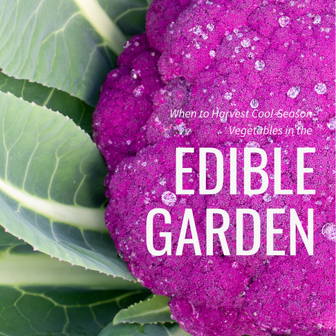 When to Harvest Cool-Season Vegetables in the Edible Garden