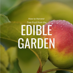 How to Harvest Tree Fruit from the Edible Garden