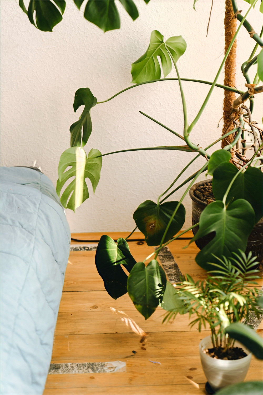 A Swiss Cheese Plant is placed on a wood floor next to a bed with blue sheets.