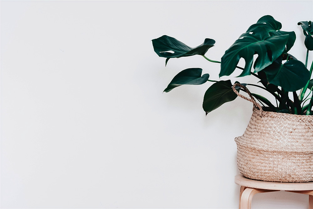 A potted Swiss Cheese Plant is pictured in a minimalist style photograph.