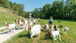 Gäste spazieren mit Ziegen