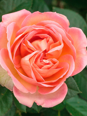 Rose Auguste Escoffier - Meizasmyne