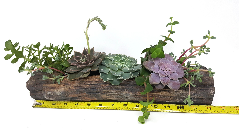 Succulent Log - 2/15/19