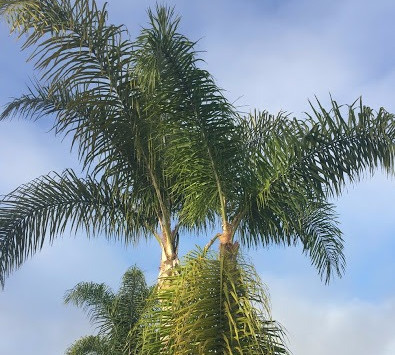 TREES, PLEASE: Queen Palms, Part II: Pests and Diseases