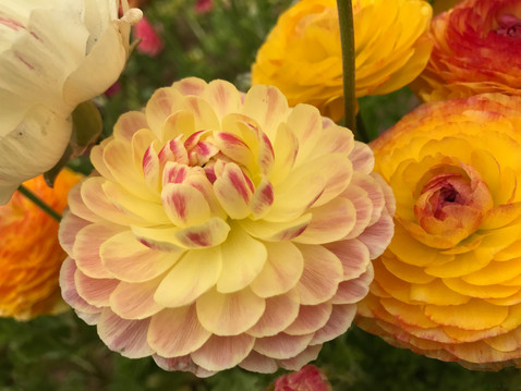 FROM THE EDITOR: Behind the Scenes at the Flower Fields
