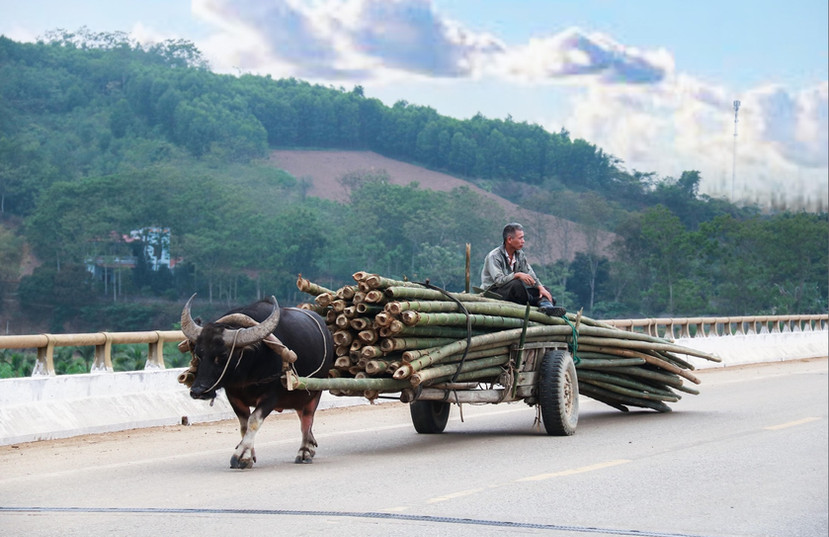 Water Buffalo carrying bamboo on a cart and a man riding on top of the cart