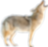 coyote_edited.png
