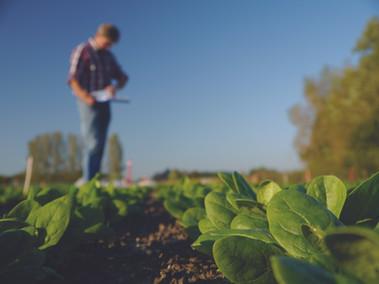 spinach_field.jpg