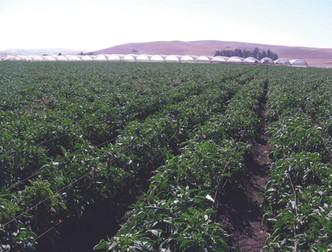 pepper_field.jpg