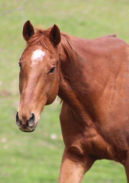 Name:  Hunter  Breed:  Thoroughbred (Registered)  Gender:  Gelding  Age:  9 yrs.  Color:  Chestnut  Size:  16+ h  ​