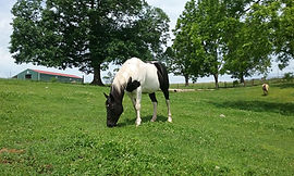 Name: Gypsy  Breed: Paint Quarter Horse  Gender: Mare  Age: 9  Color: Black & White  Size: 15 h  