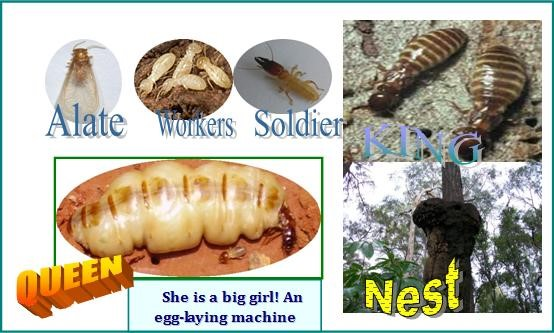 Termite -  Social Insect