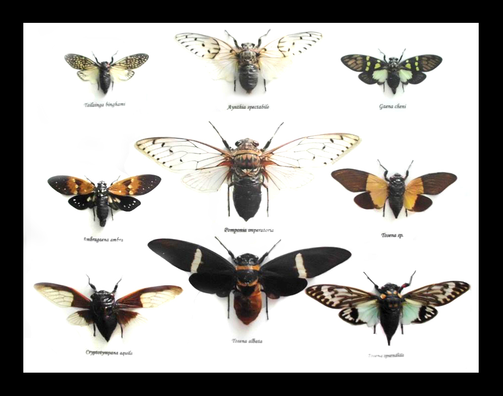 All kinds of cicadas