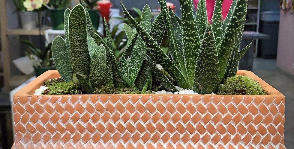 Jardinière de Aloe vera