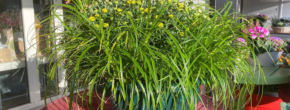 Chrysanthème  entouré de cyperus