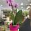Thumbnail: Phalaenopsis
